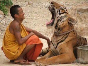 o-tiger-yawns-at-monk-kanchanaburi